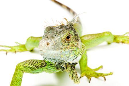 iguana isolated on a white background photo