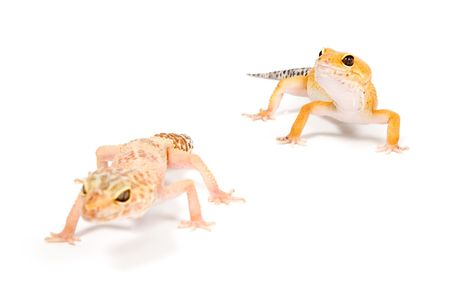 Gecko in front of a white background 