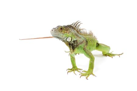 iguana isolated on a white background