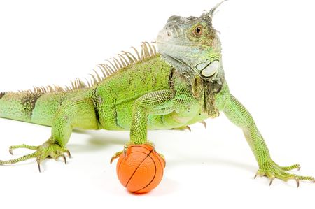 iguana holding a basketball isolated on white background