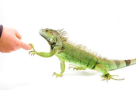 Iguana is shaking hands isolated on a white background