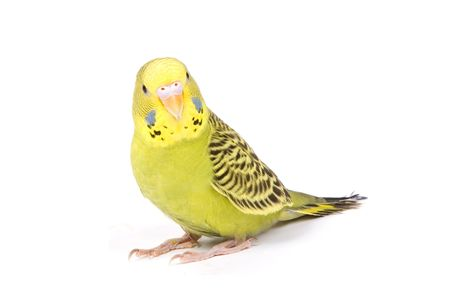 Green parrot isolated on a white background 写真素材