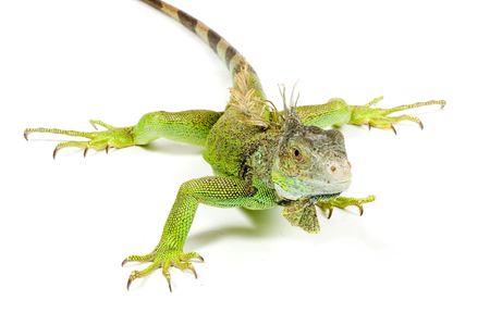 iguana isolated on a white background