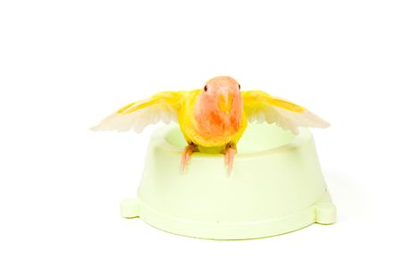 spreaded: lovebird with spreaded wings after taking a bath on white