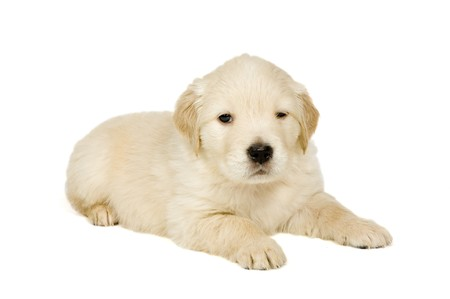 Golden retriever puppy on white background photo