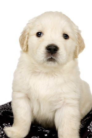 Golden retriever puppy on white background  photo