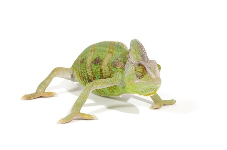 Chameleon isolated on a white background