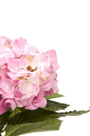 hydrangea macrophylla: Hortensia (Hydrangea Macrophylla)