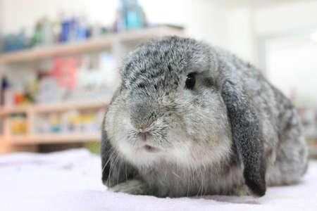 lop: chinchilla holland lop rabbit
