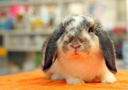 broken chinchilla HL rabbit photo