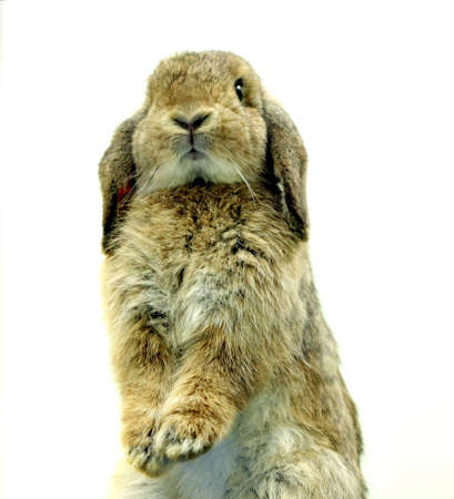 chesnut holland lop rabbit on white background photo