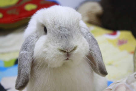 lop: frosty holland lop rabbit face Stock Photo