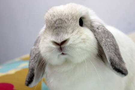 lop: frosty holland lop rabbit  ventral view face Stock Photo