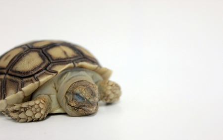 weakness: weakness baby sulcata