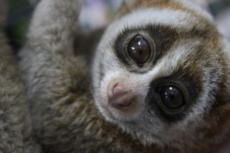 Slow loris close up face Imagens