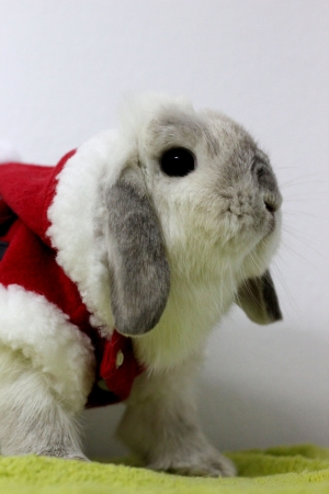 rabbit in santa claus suit photo