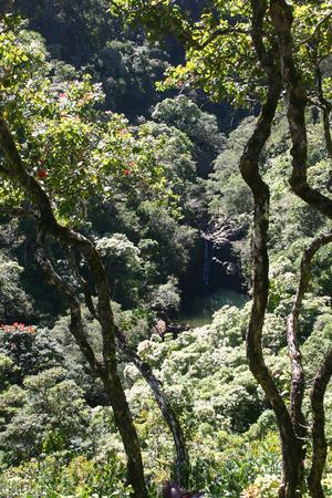 myrtales: Mountain Apple Tree Stock Photo