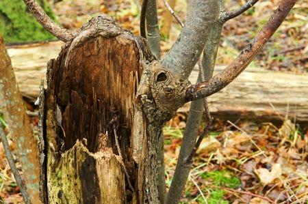 old broken wet fallen tree in the forest