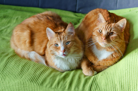 wood floor: house cat on the sofa resting, beautiful clean red cat Stock Photo