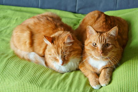 house cat on the sofa resting, beautiful clean red cat Stock Photo