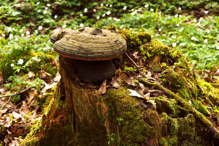 felled: beautiful tree stump with a hole whole in the moss lichens and sphagnum