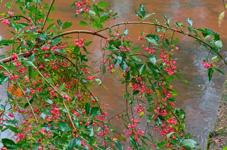 image, deciduous shrub Euonymus, Euonymus autumn close-up