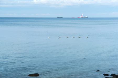 Swans swim one after another, a flock of white swans in the sea, oil production in the sea Stok Fotoğraf