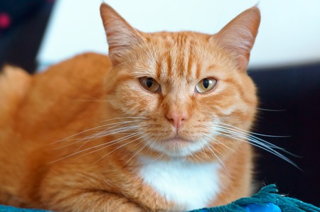 ginger house cat, well maintained clean fluffy cat