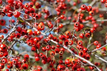 ripe hawthorn berries, hawthorn medicinal