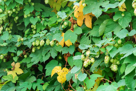 Humulus lupulus, the Hops are climbing, the Humulus fruit on the branches 版權商用圖片