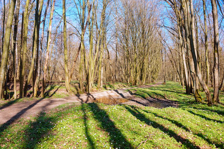 spring forest, trees without foliage in early spring