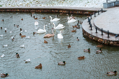 ducks and swans on the pond, birds on the unfrozen pond in winter Stockfoto