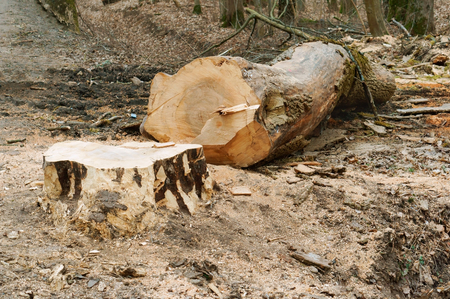 felled tree on the road, cut down a tree on the roadside