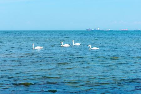 white swans at sea, waterfowl and ships at sea Stockfoto