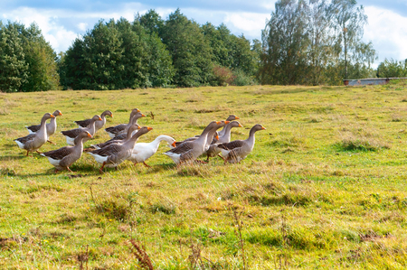 a flock of domestic geese, gray geese running across the meadow