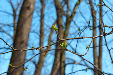 young leaves on a branch, leaves on a tree bloom in early spring