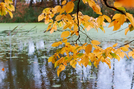 autumn forest and lake, branch with yellow leaves over the pond