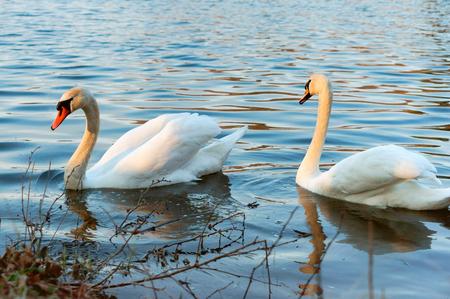 dos cisnes en el estanque, aves acuáticas salvajes en el lago