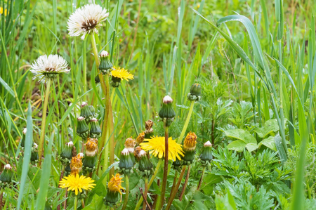 wildflowers and herbs, dandelions among the green grass in the field Stockfoto