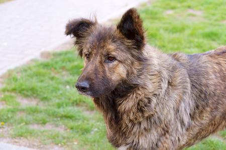 stray dog, big shaggy stray dog Stockfoto