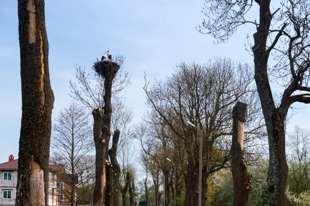 storks in a nest on a tree, cut trees and a birds nest
