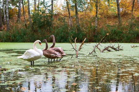 family of swans on the pond, swans in the wild