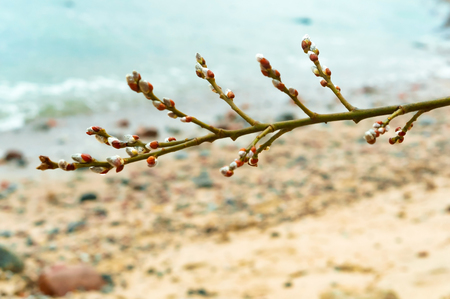 willow branch, fluffy willow buds in spring