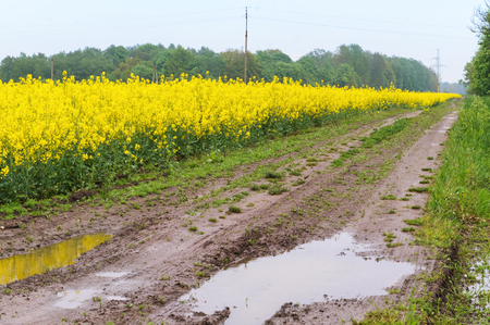 sowing crops of rapeseed, a flowering plant rape