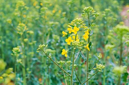 sowing crops of rapeseed, a flowering plant rape