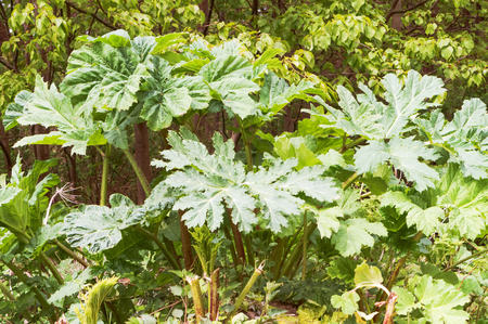 cow parsnip on the side of the road, thickets of cow parsnip