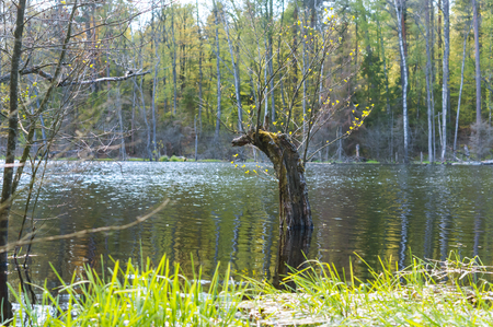 an old broken tree in the lake, a tree covered with moss and lichen