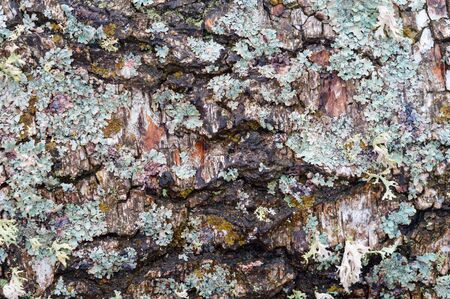 tree bark with fur, turquoise lichen Parmelia on birch