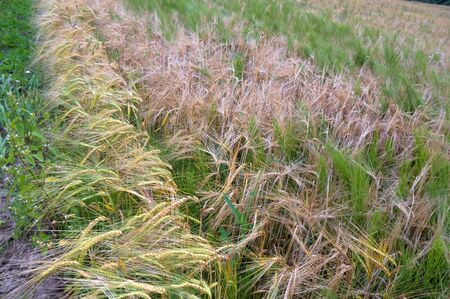 ripe ears of rye, the field is sown with rye