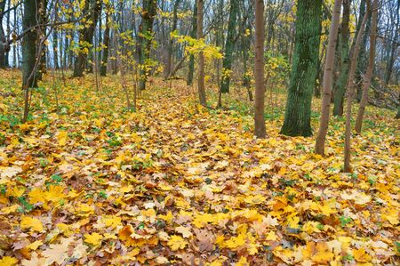 clear autumn weather in the forest, yellowed trees in the autumn forest